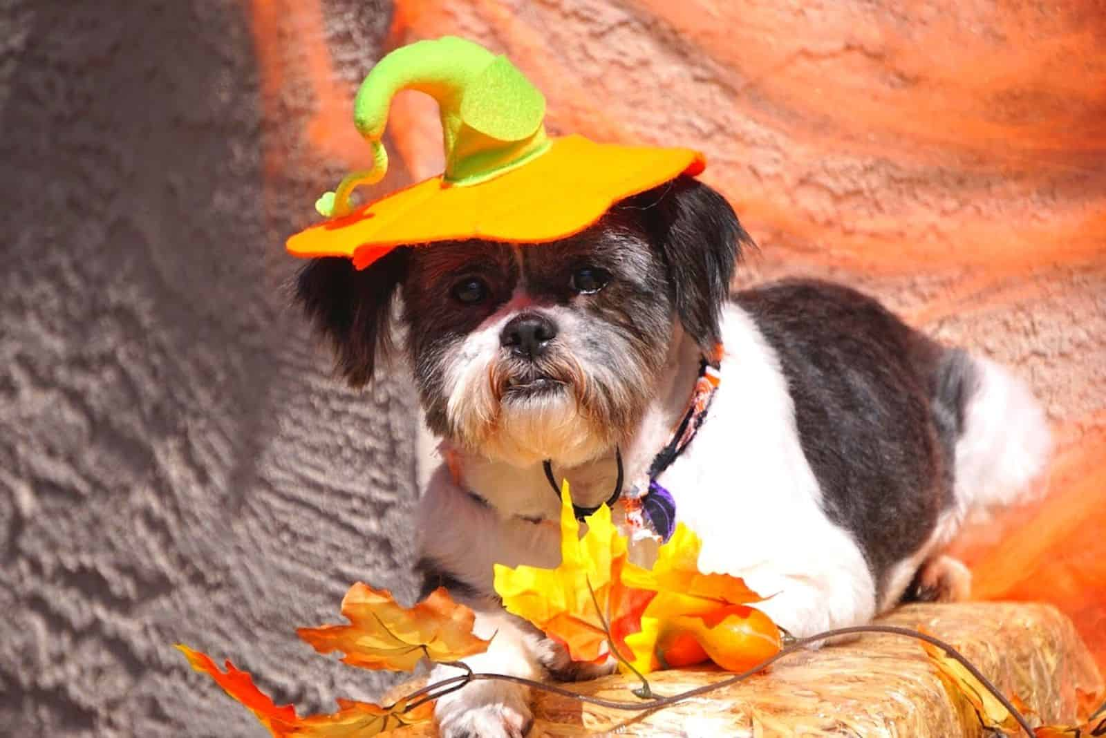 decorated shih tzu dog colored black and white ready for halloween