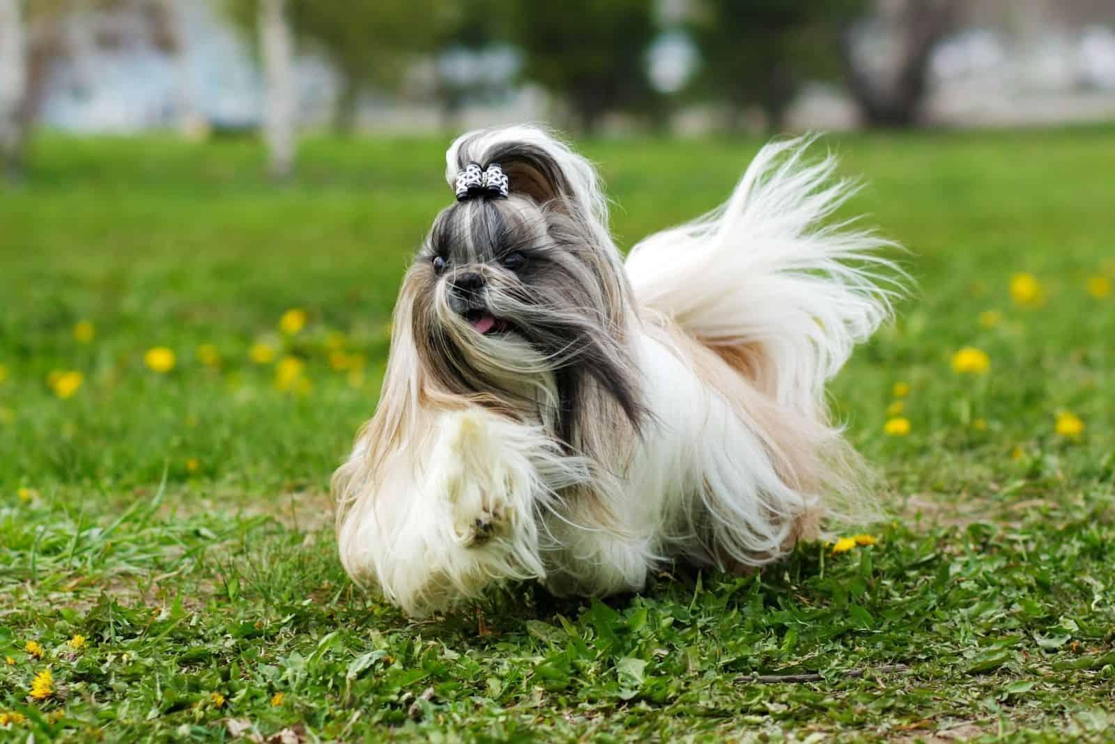 decorative shih tzu dog running in the garden