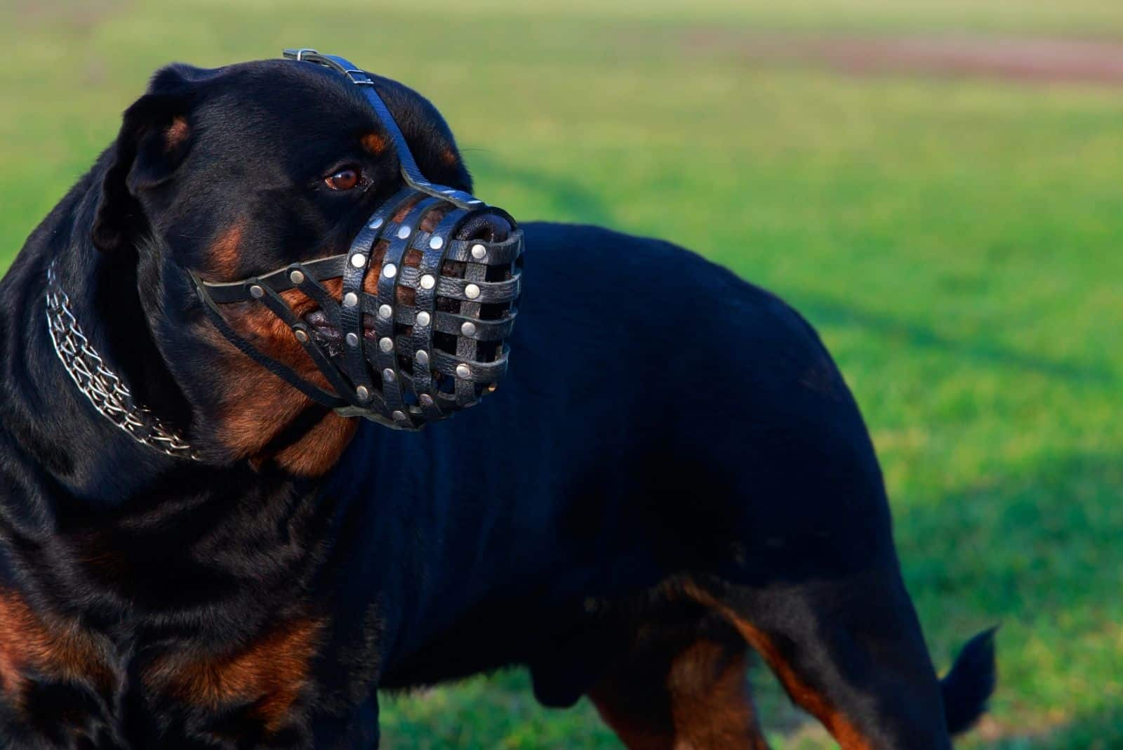 dog breed rottweiler with a muzzle standing outdoors