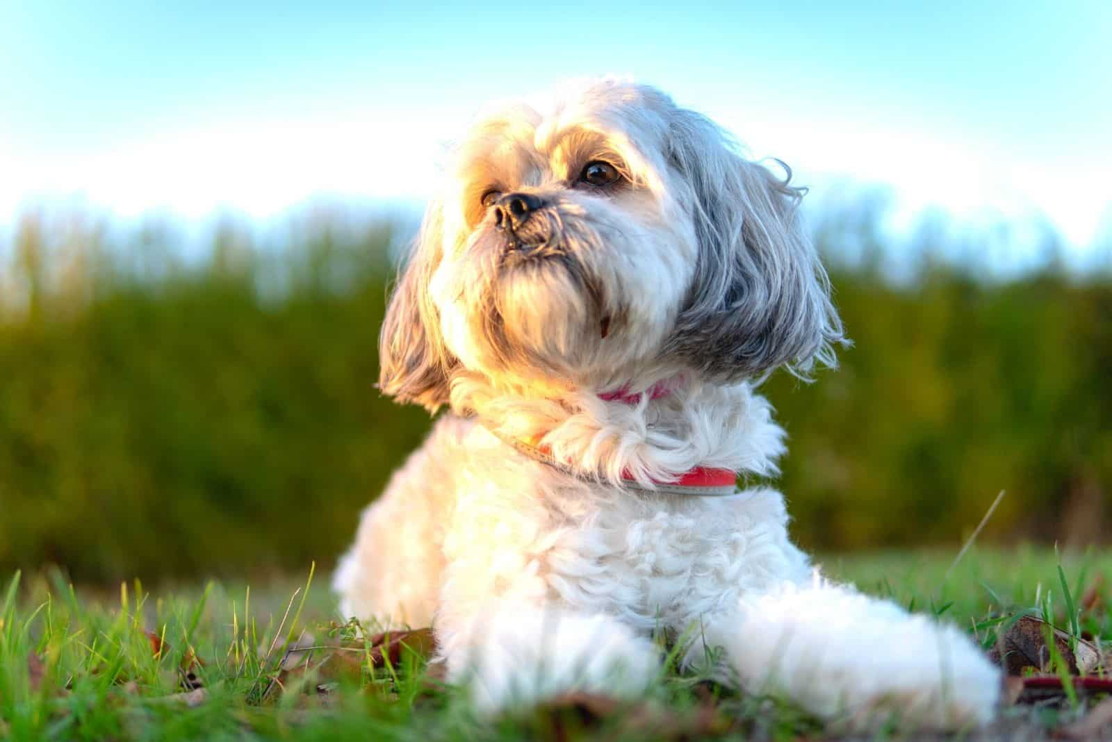 dog shih tzu sitting in the ground outdoors looking away