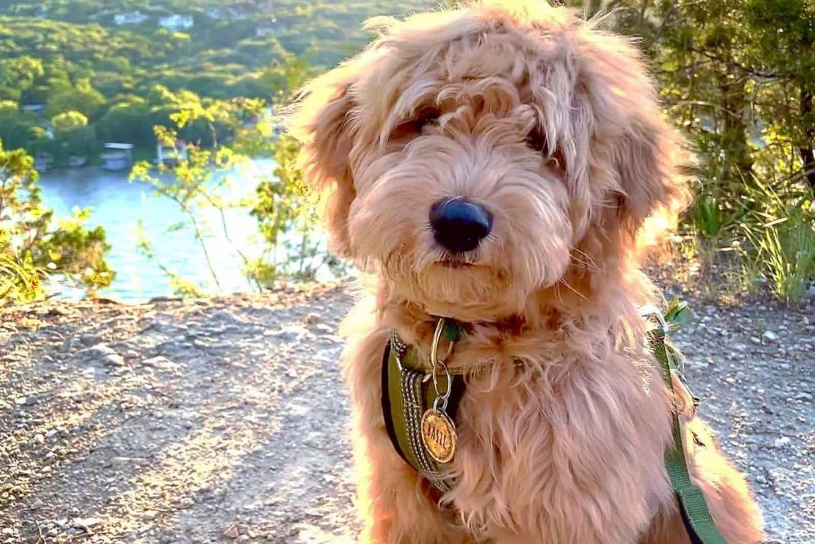 f1 goldendoodle in nature resting