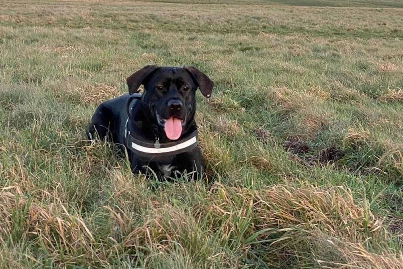 german corso dog breed