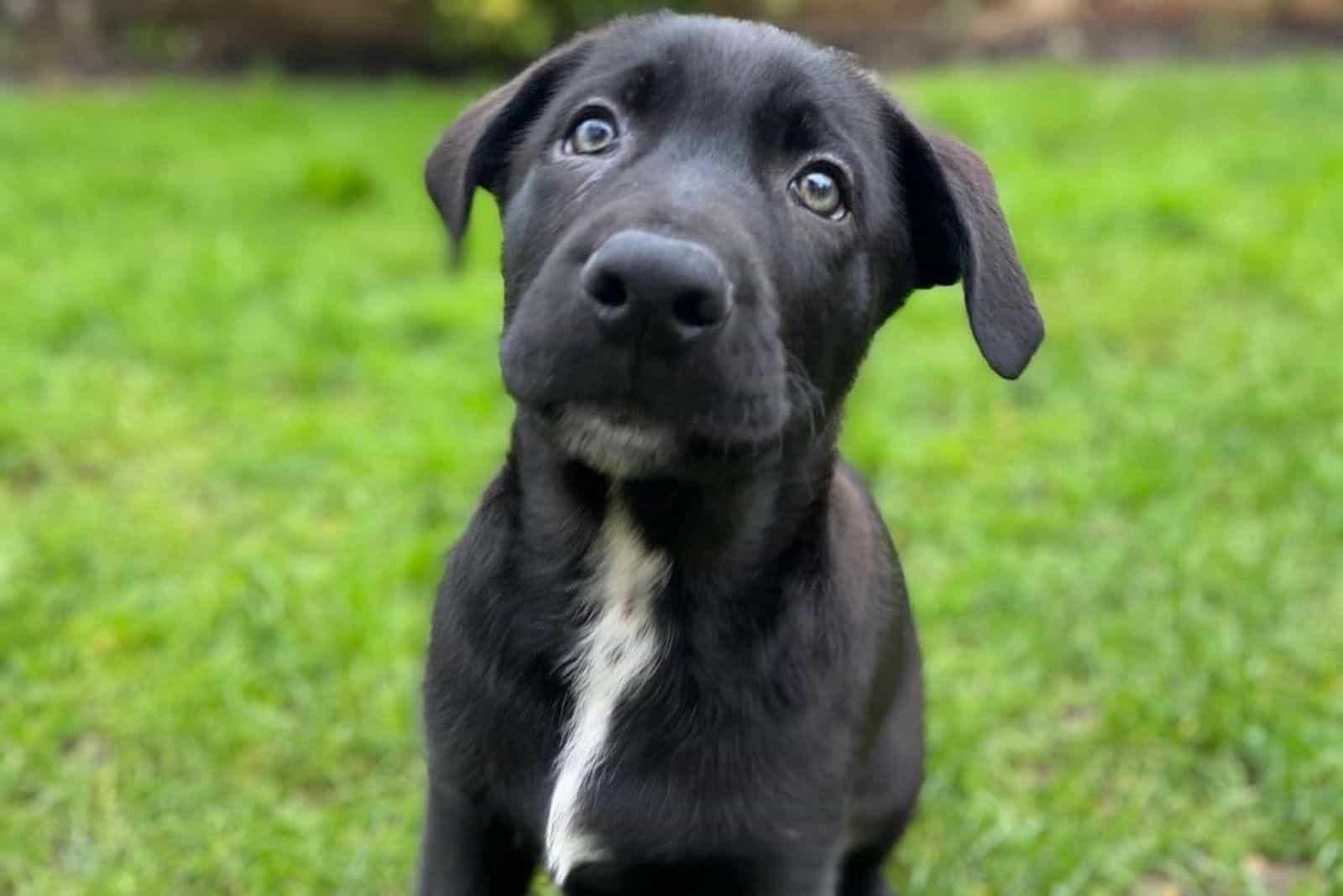 german corso puppy