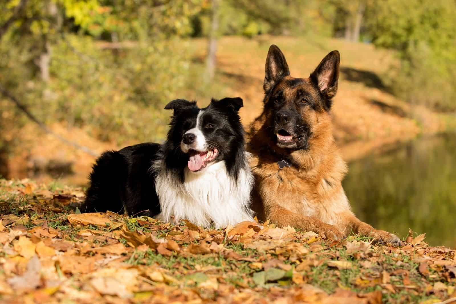 german shepherd and border collie lying down in an autumn forest