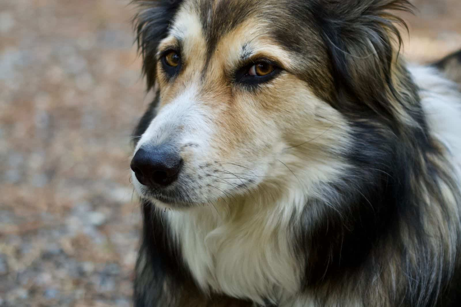 german shepherd collie cross breed dog in close up image