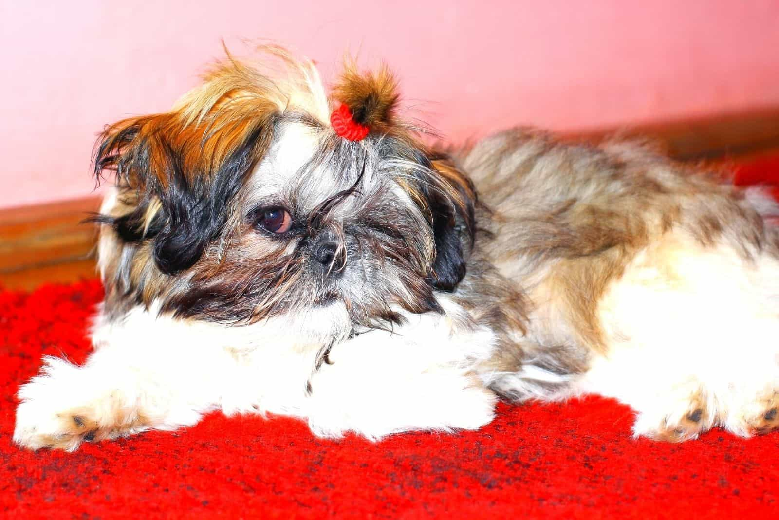 gold shih tzu puppy with black tips lying down on red carpet