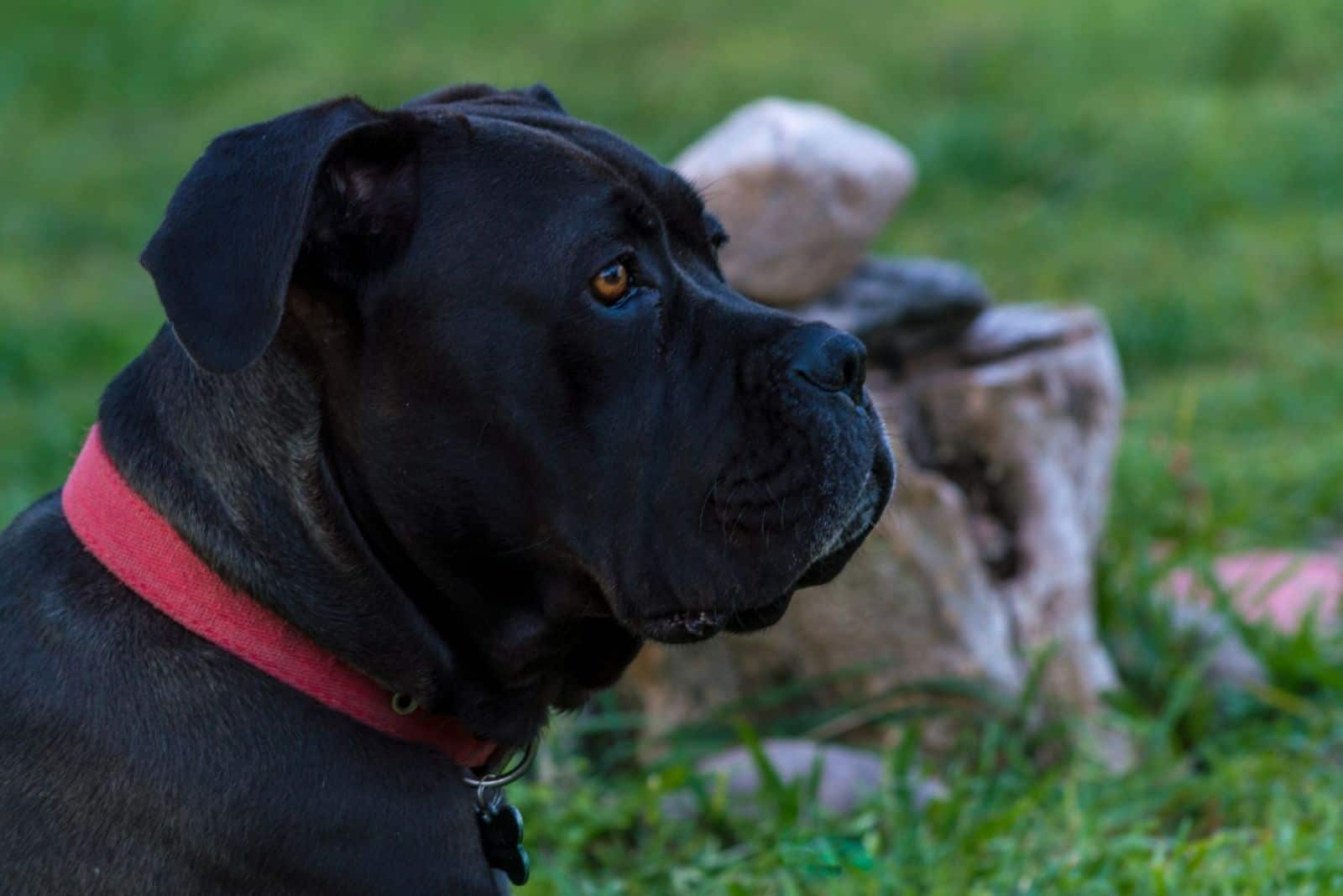great cane corso dog in close up sideview image