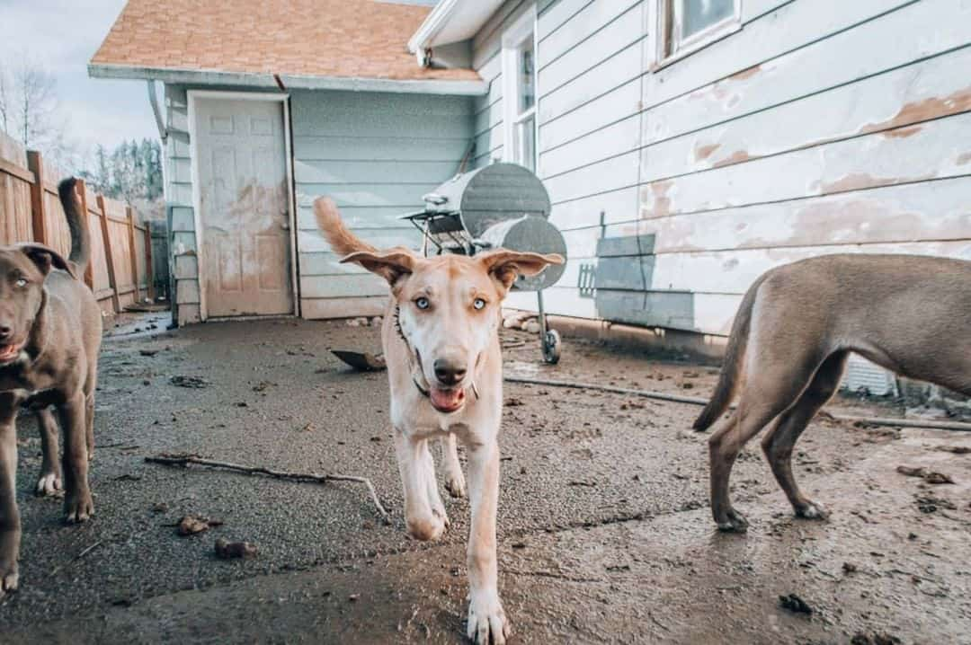 great dane husky mix dog excited