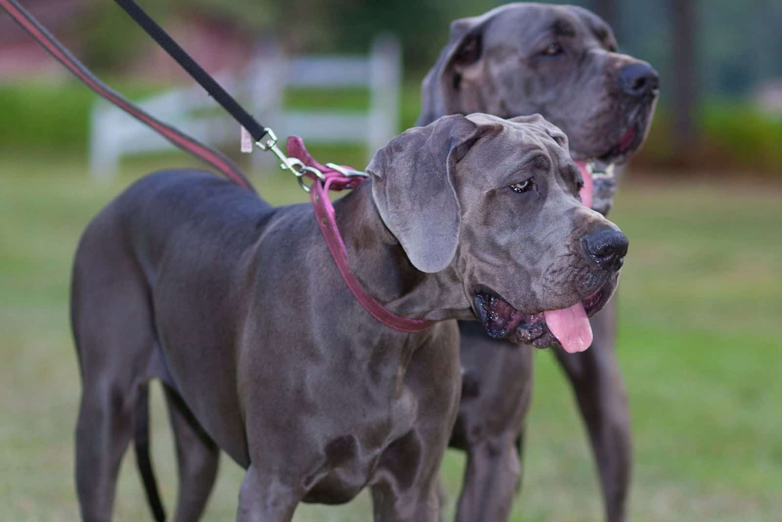 great dane in pair standing outdoors with leash on