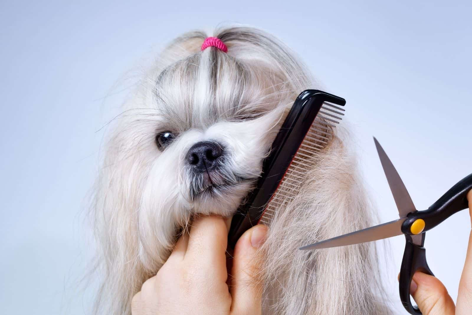 grooming white shih tzu dog with scissors and comb