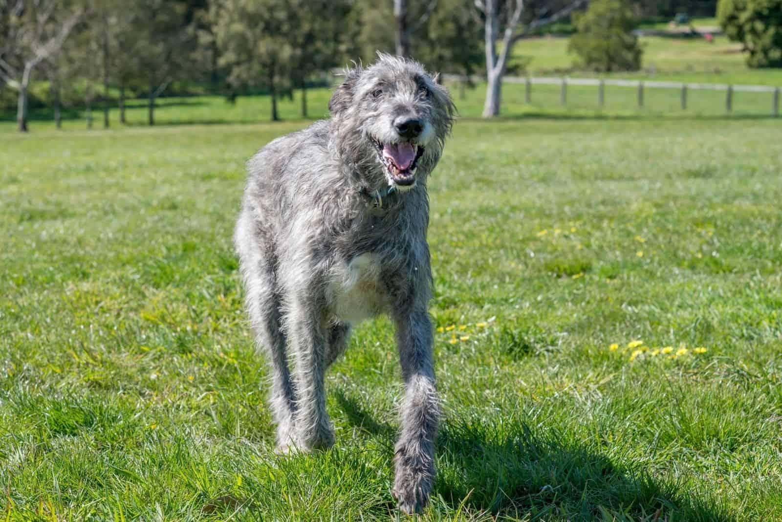 happy irish wolfhound walking in the field