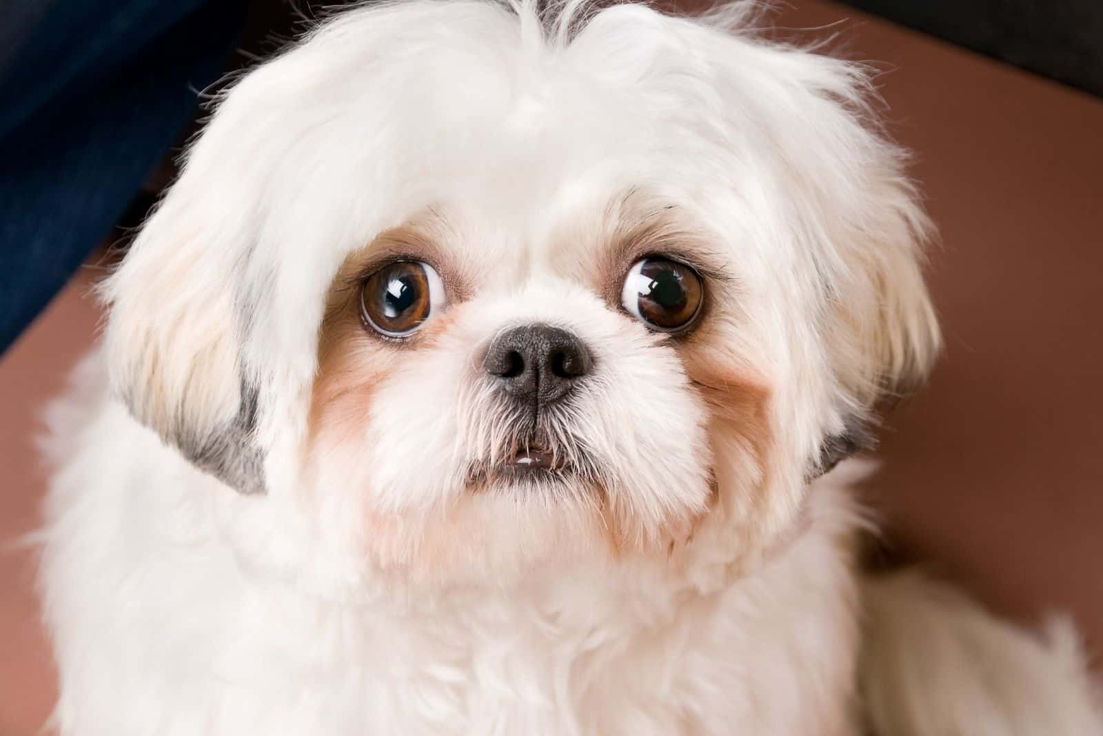 happy white shih tzu with tear stain on face