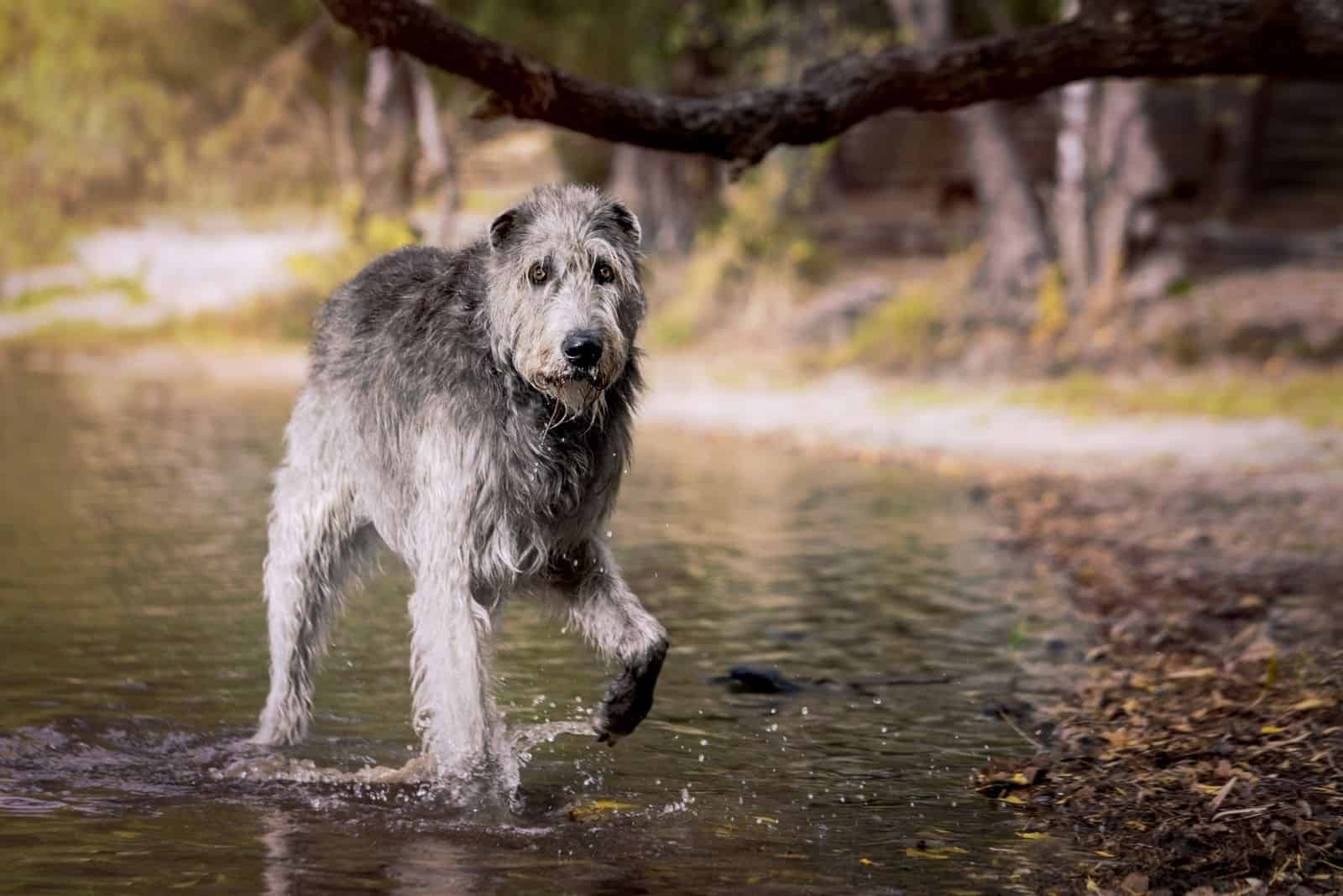 irish wolfhound amidst in the waters walking
