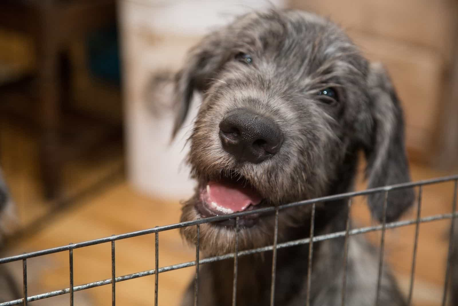 irish wolfhound behind a cage inside the house