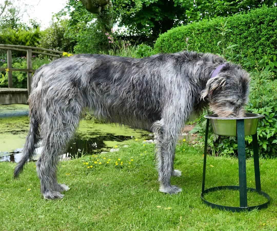 irish wolfhound drinking water