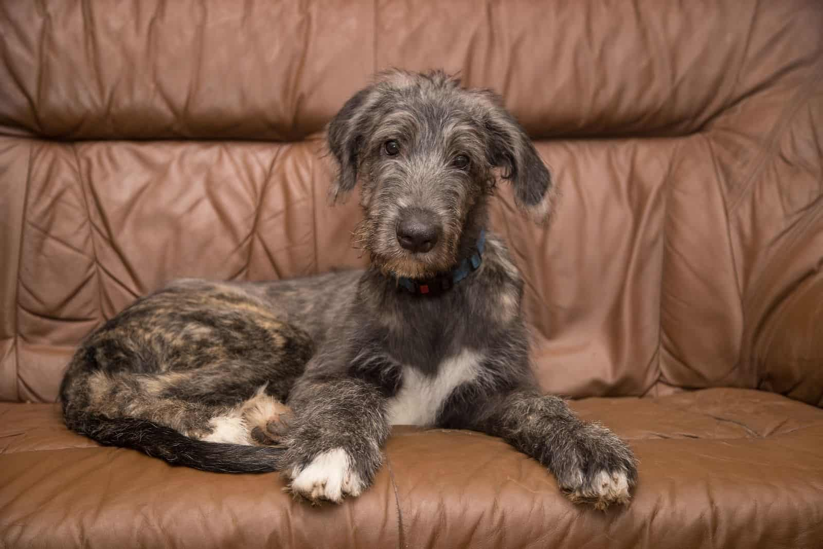 irish wolfhound pup sitting in the brown couch at home