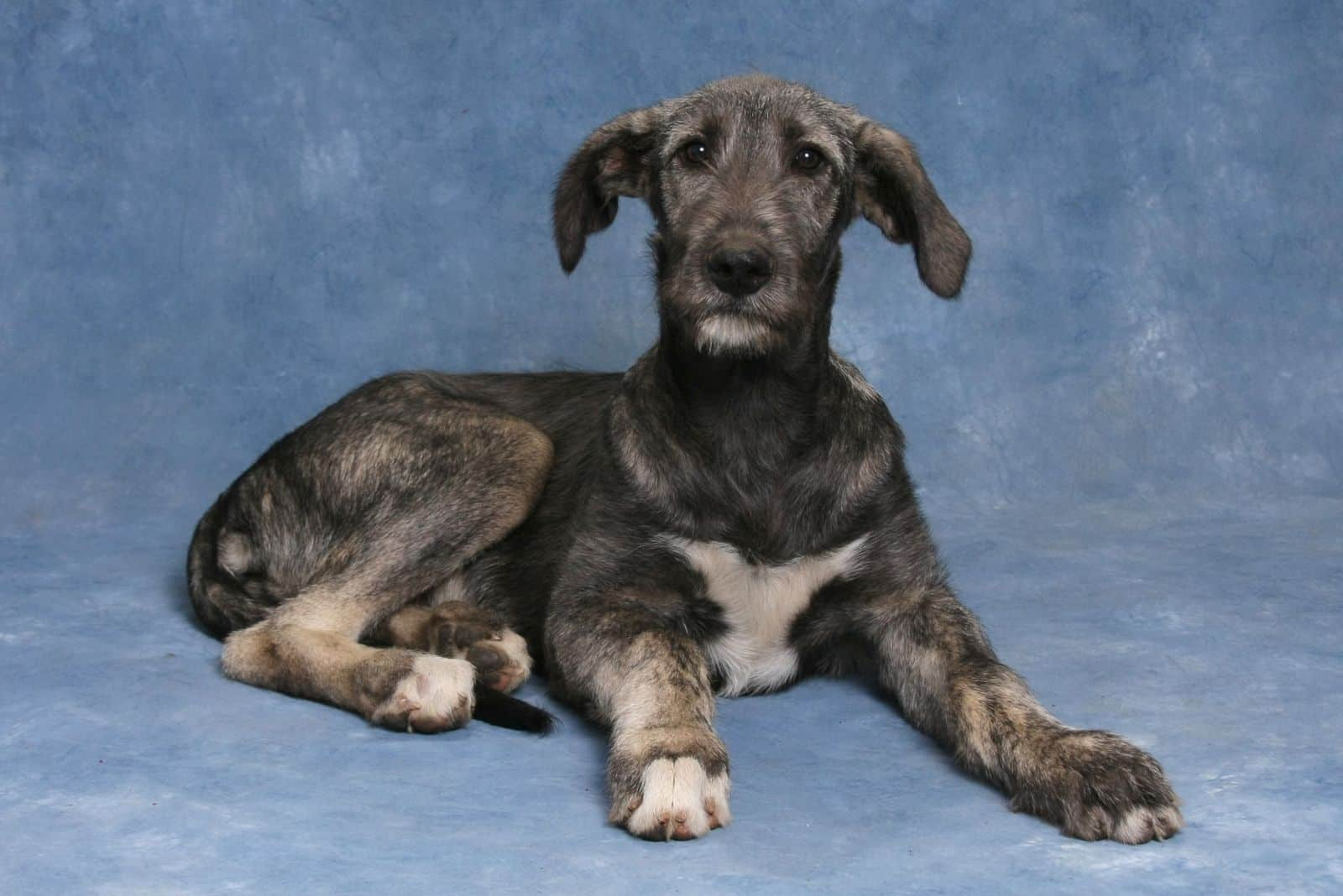 irish wolfhound puppy sitting in the studio with blue background
