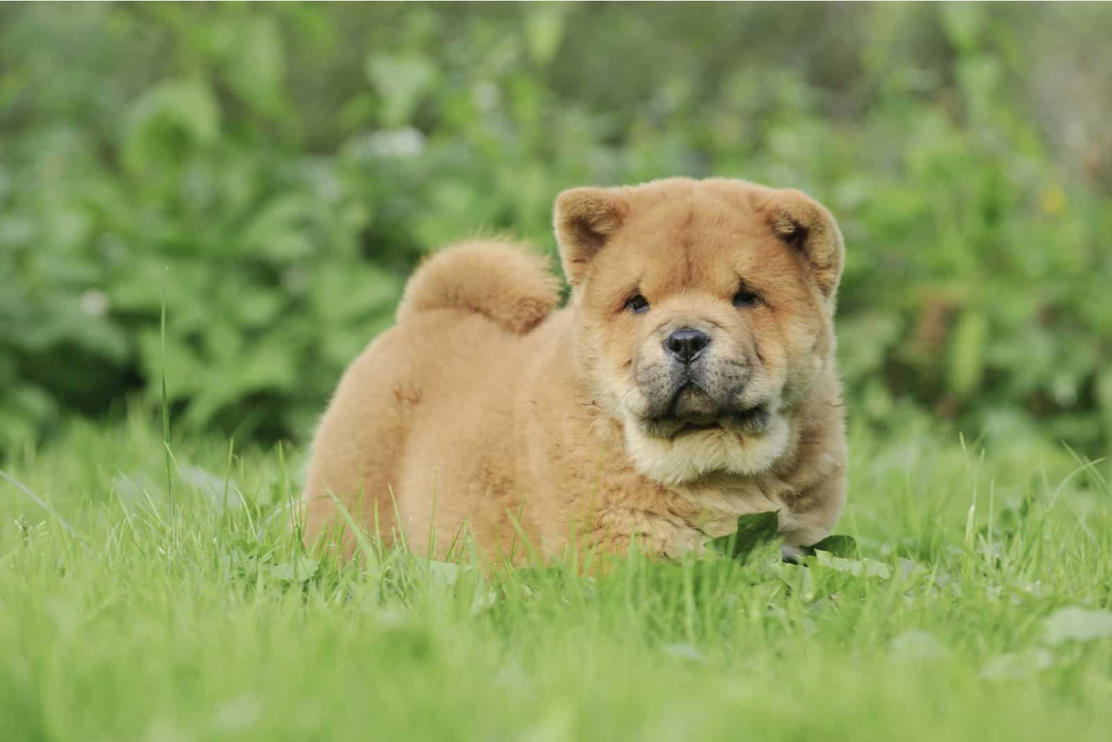 little Chow chow puppy