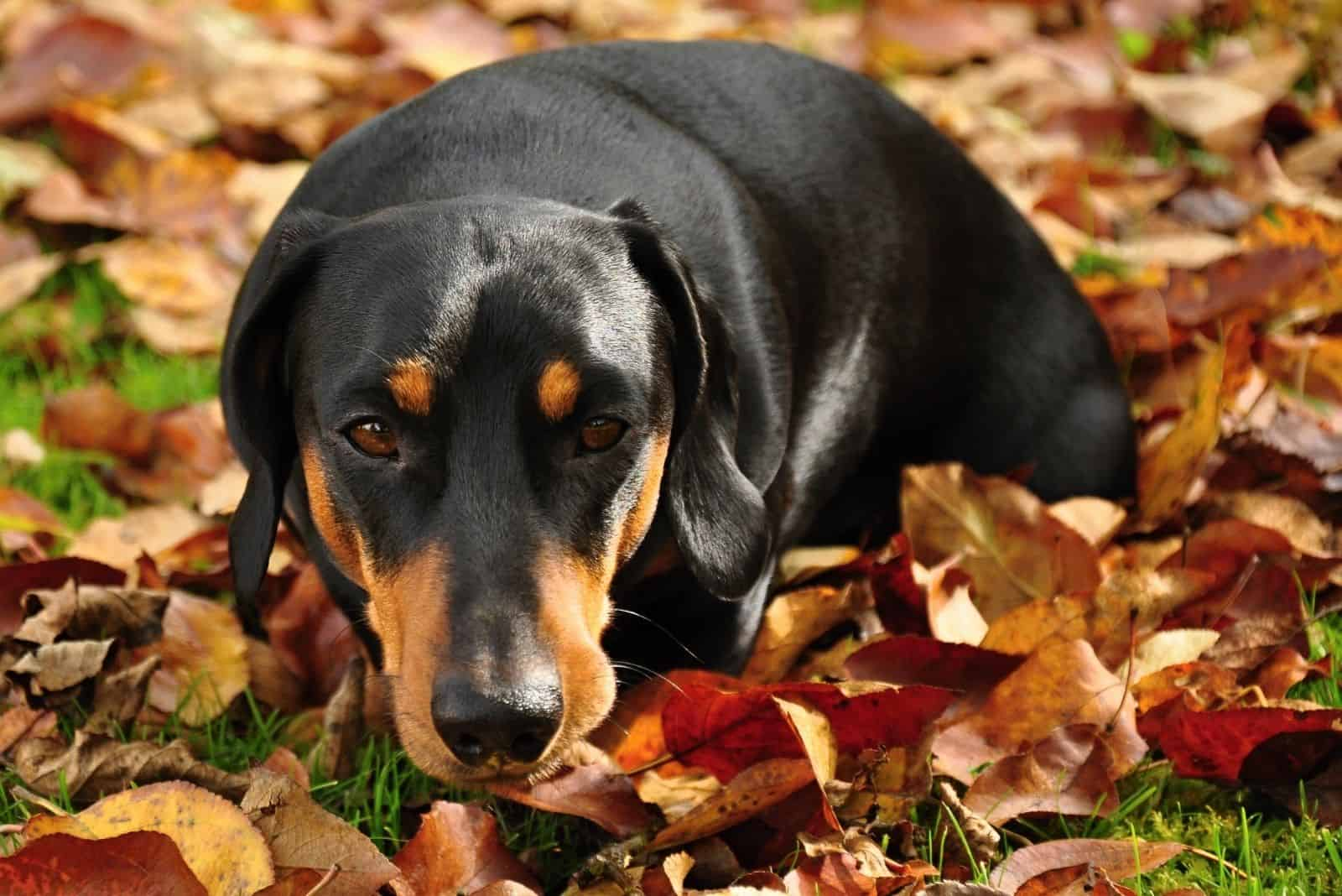 little black dachshund on autumn garden with leaves