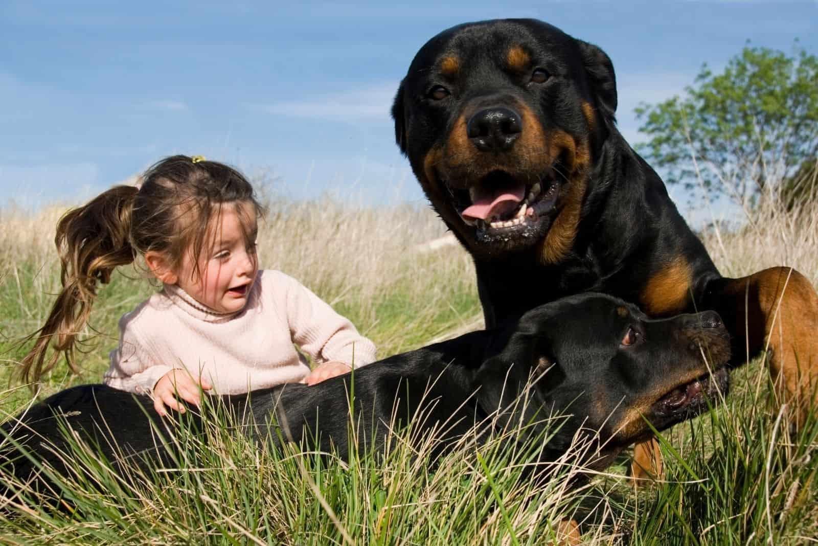 little girl frightened by two dangerous rottweiler dogs