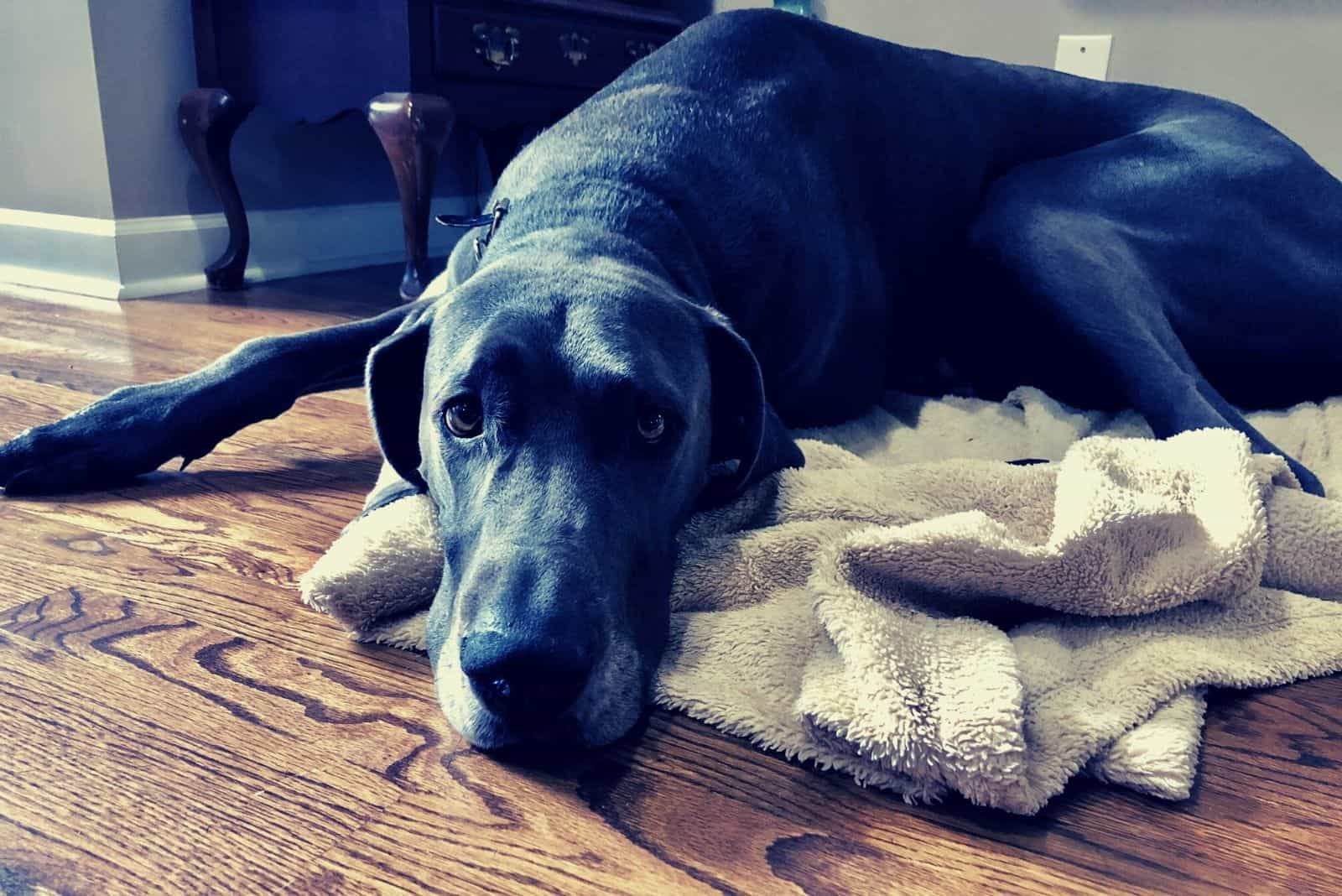 lonely great dane waiting for the owner inside home