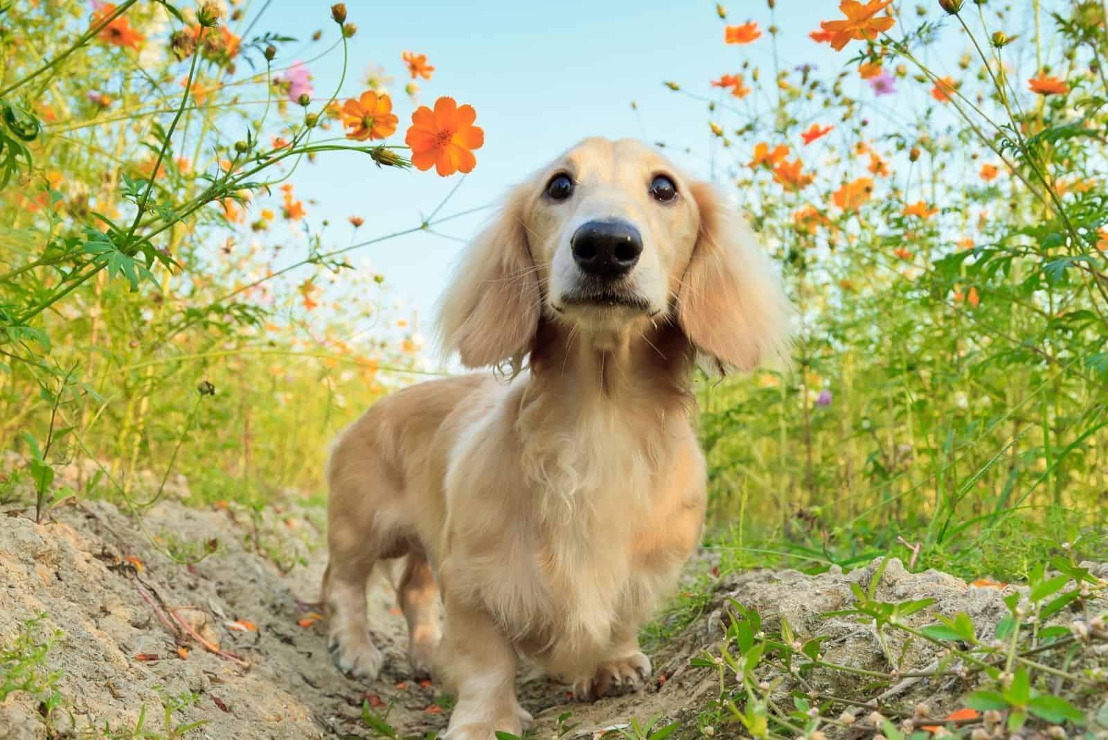 long hair dachshund playing in the garden