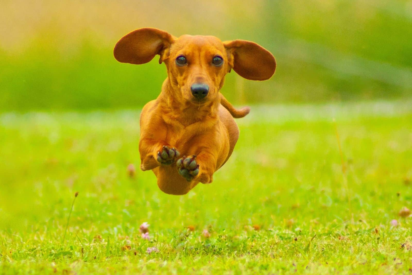 miniature smoothhaired dachshund flying in the air