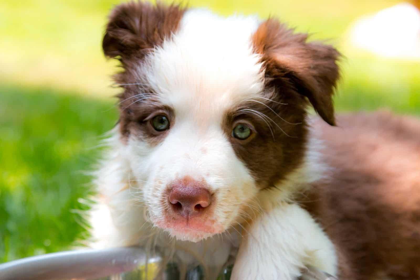 panda german shepherd puppy in close up image