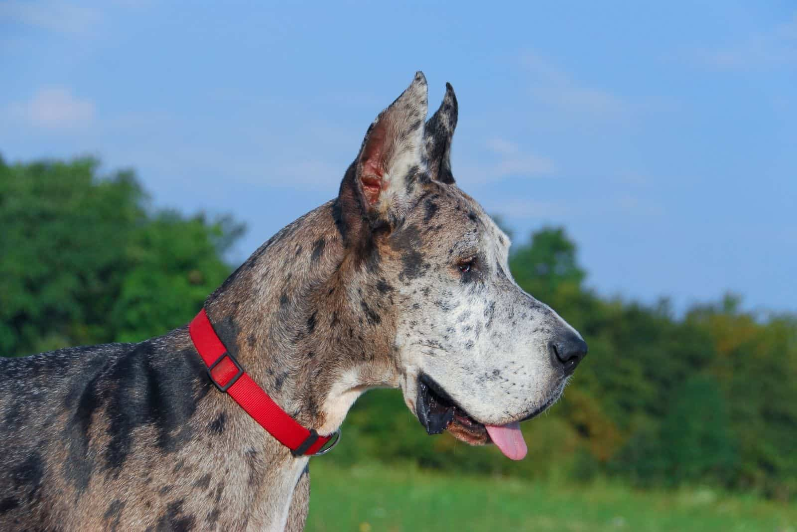 picture of a great dane mix dog in sideview standing outdoors