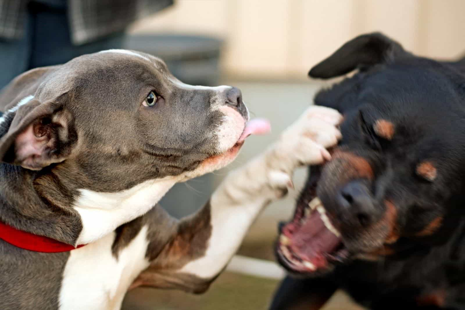 pitbull and rottweiler dogs playing and fighting