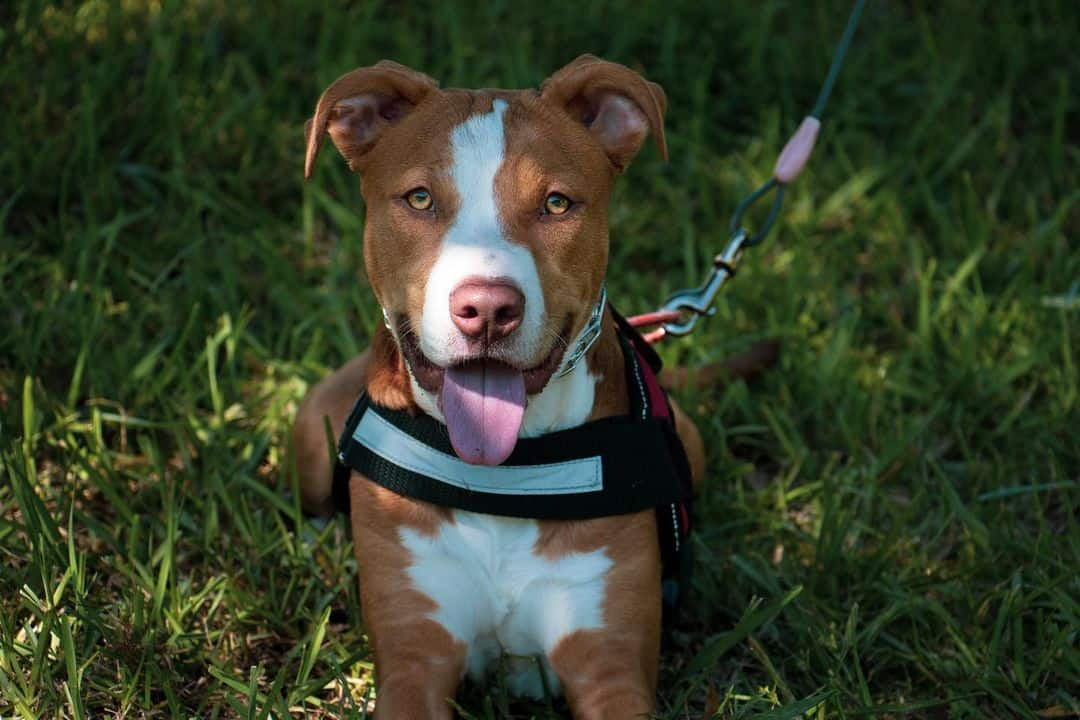 pitbull dog outdoors on green grass