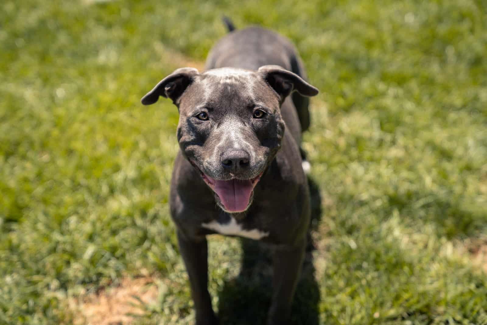 pitbull dog standing on the green grass