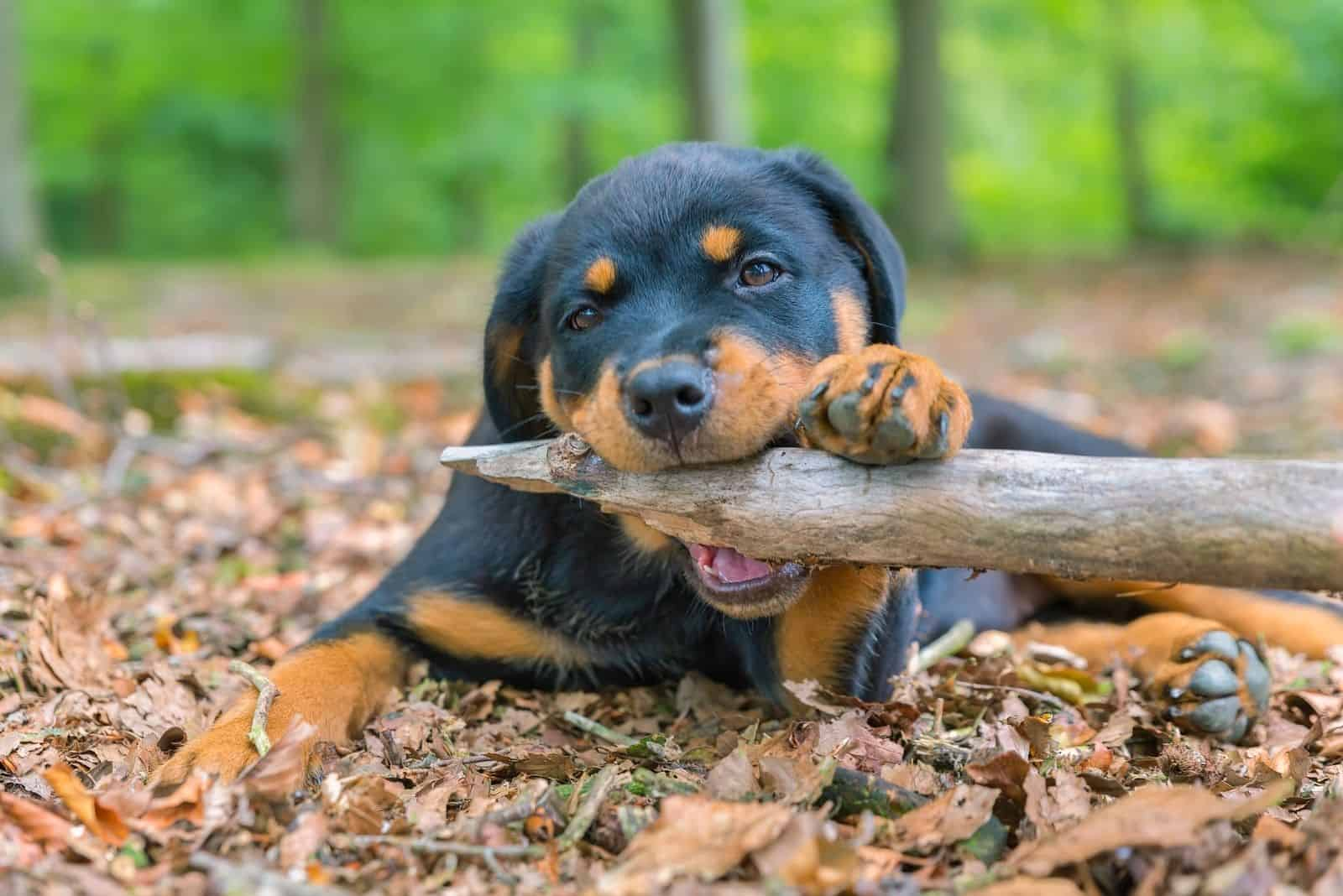 portrait of a rottweiler biting a branch in nature