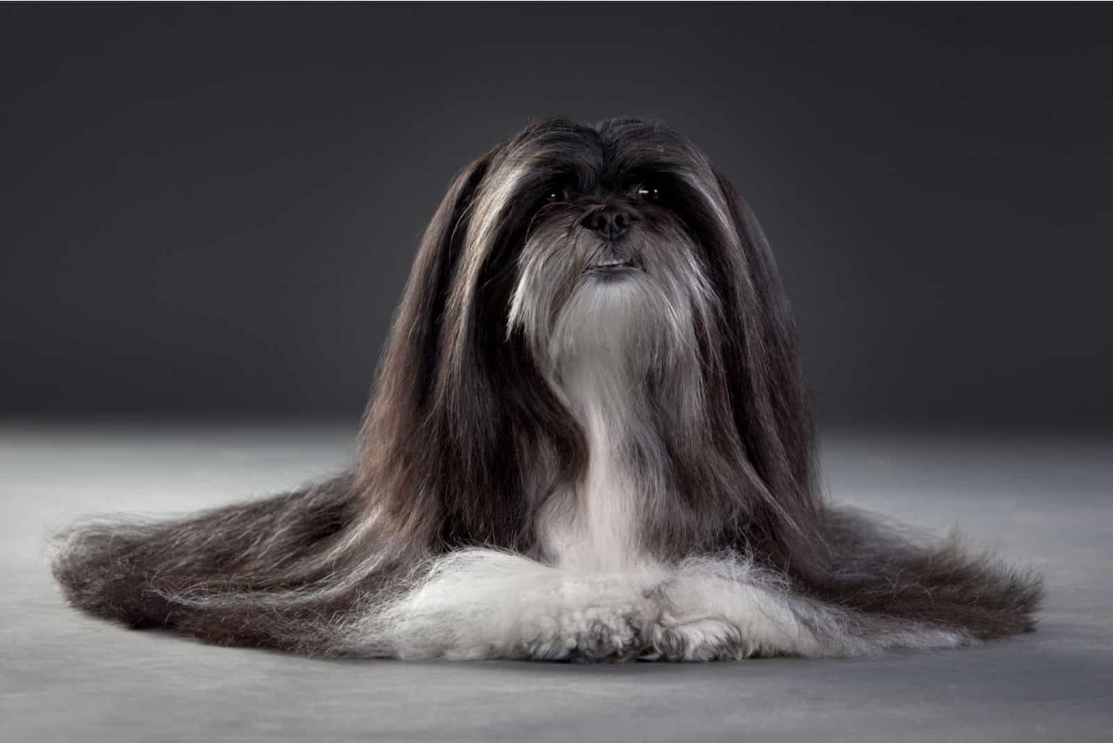 pretty long haired dog in black and white posing
