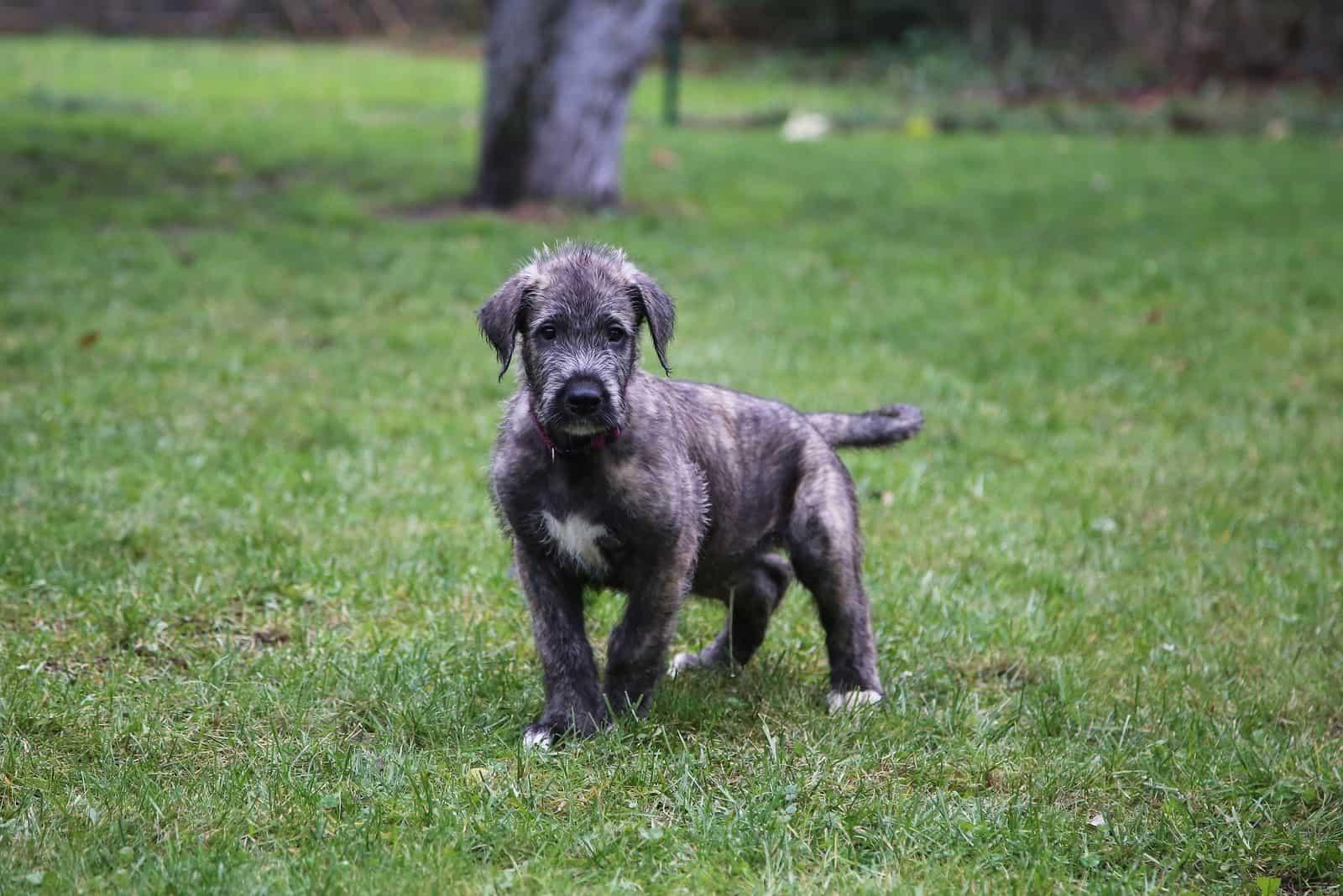 puppy breed irish wolfhound dog standing in the park