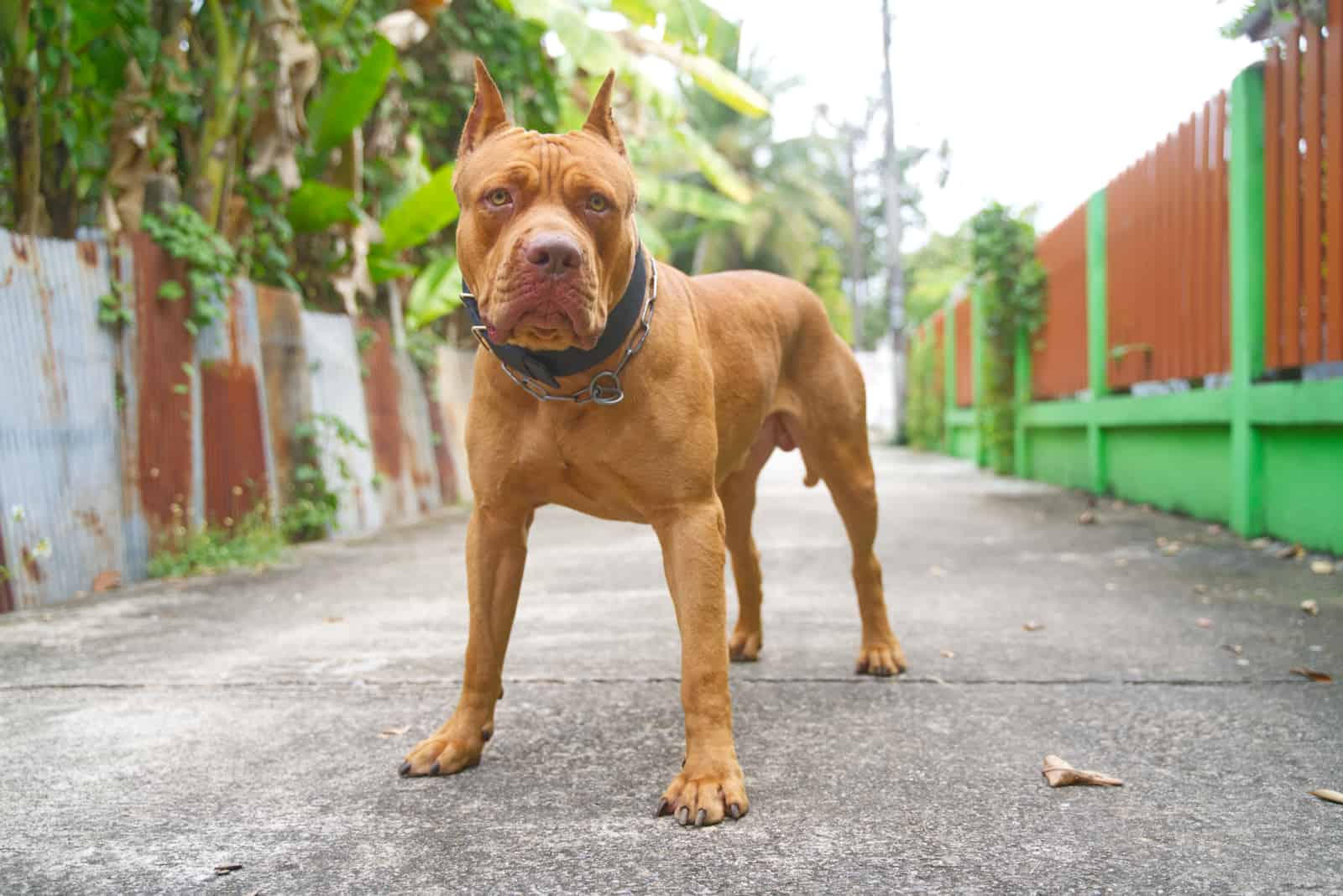 red nose American pitbull terrier outdoors