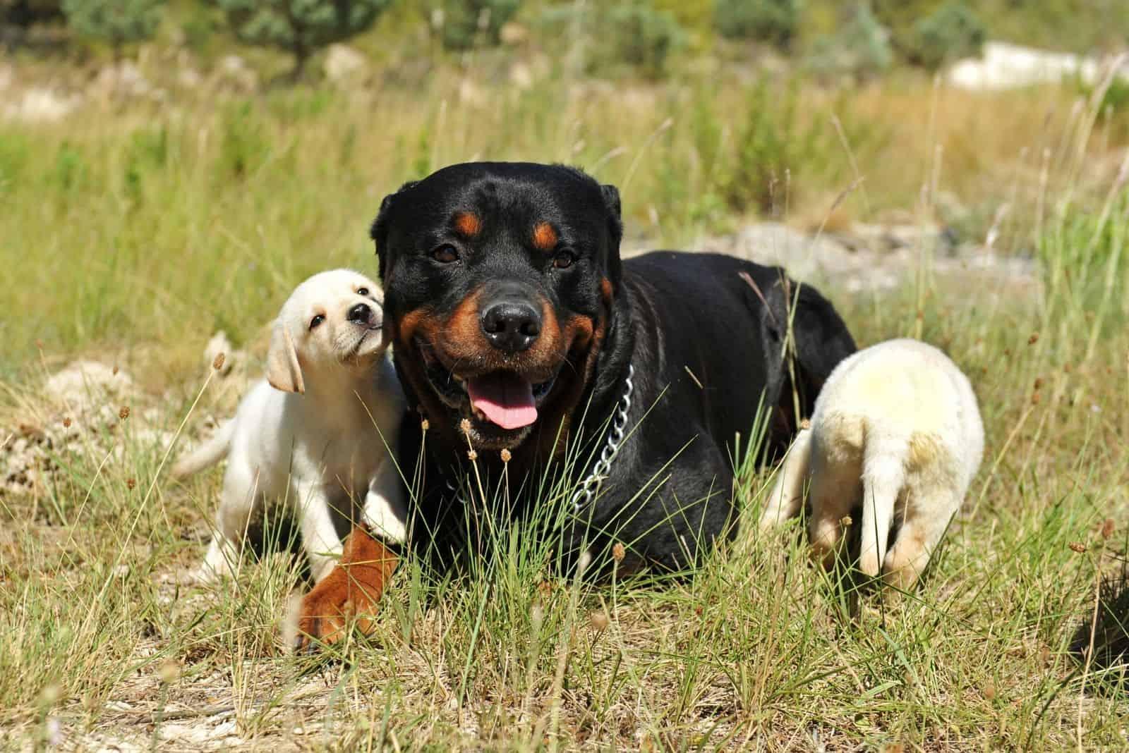 rottweiler sat in the field with labrador puppies around