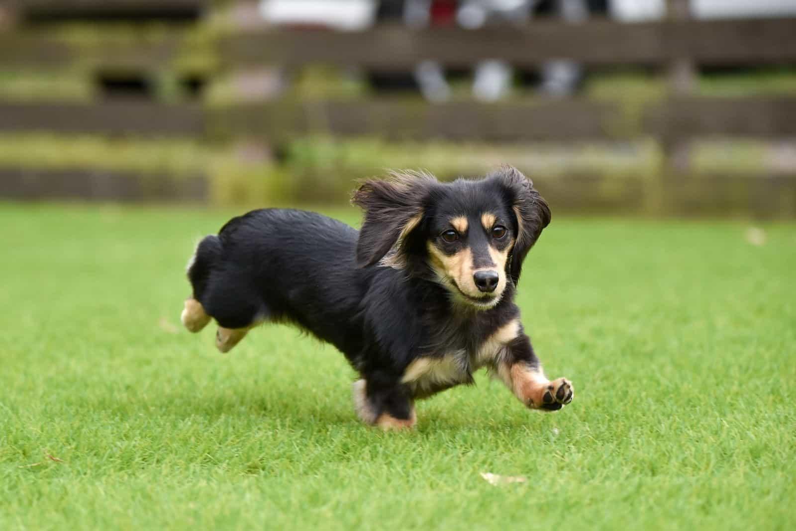 running dachshund dog running in the field