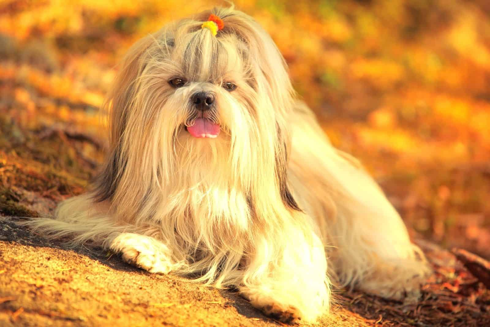 shih-tzu lying down in the mountain on sunset golden colors