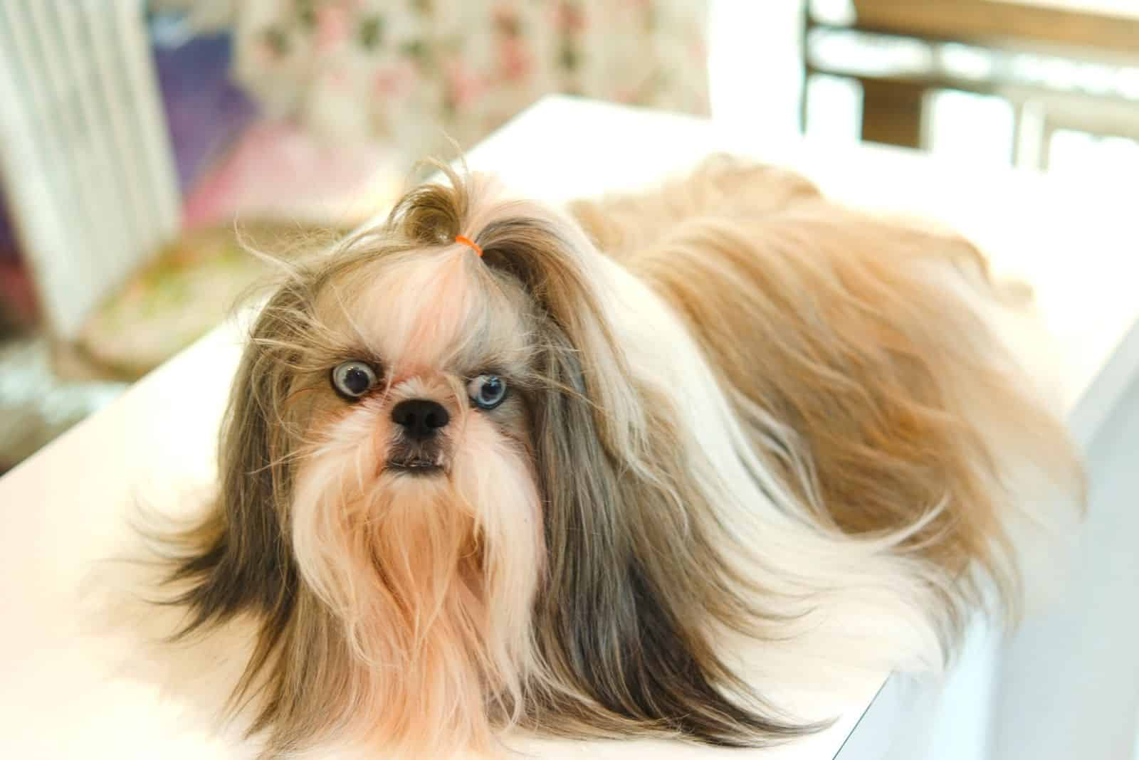 shih tzu portait of a dog on the table