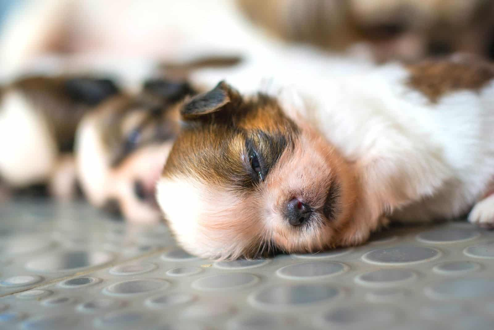 shih tzu puppies lying next to each other