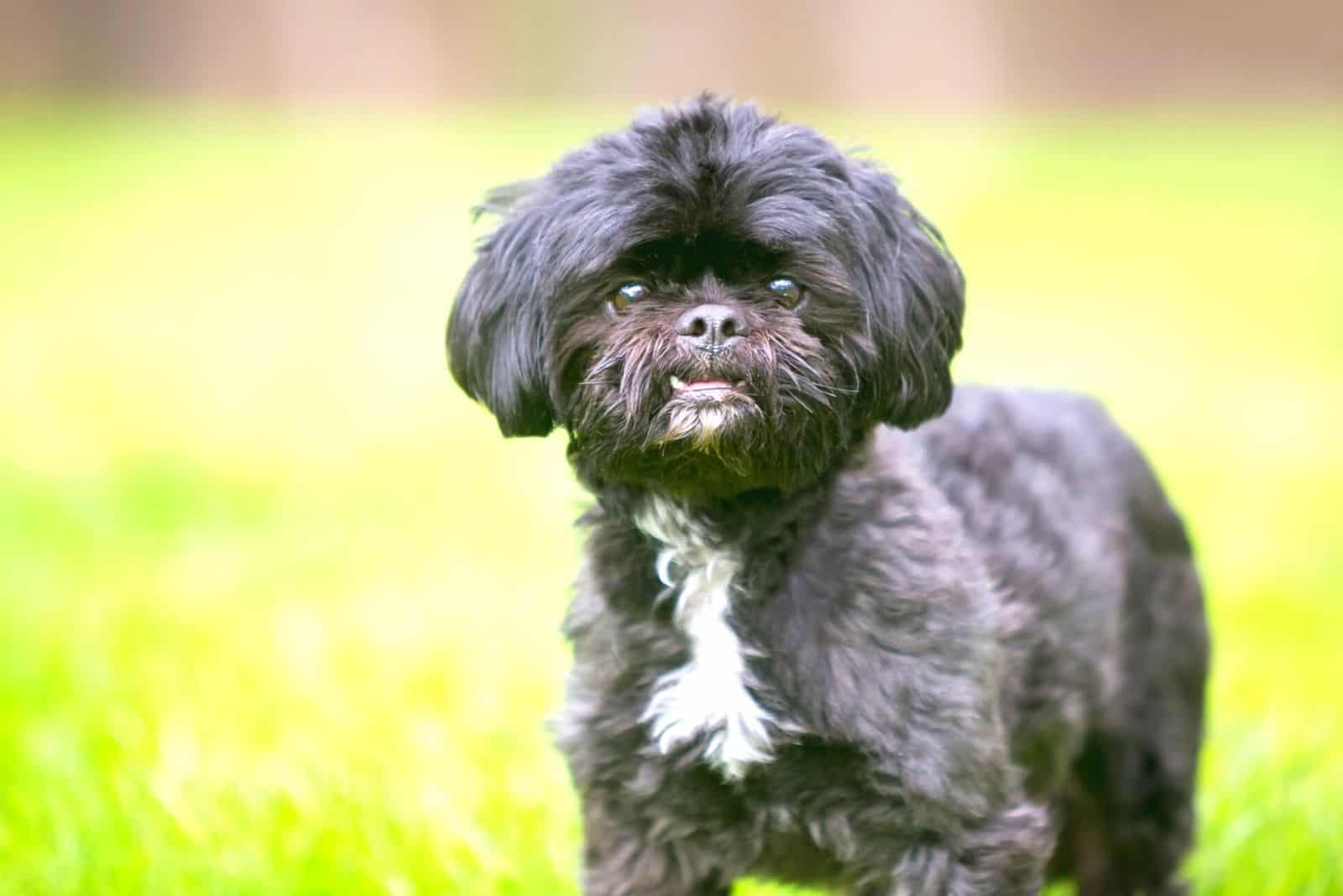 shih tzu with white patch in the chest amidst black solid color