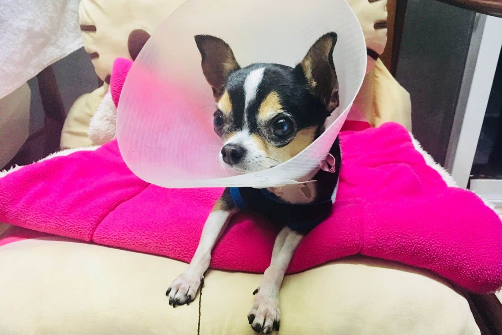 sick short haired chihuahua with collar lying on sofa