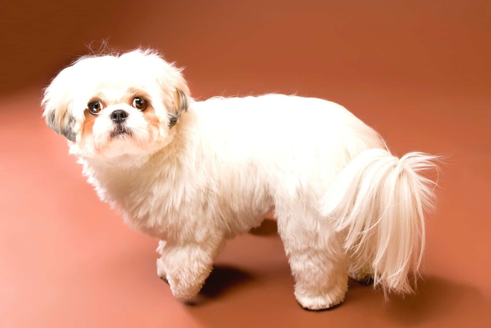 sideview of white shih tzu dog looking back at the camera on high angle