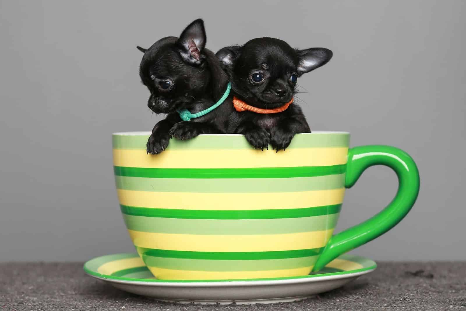 small black Chihuahua puppies inside a big tea cup
