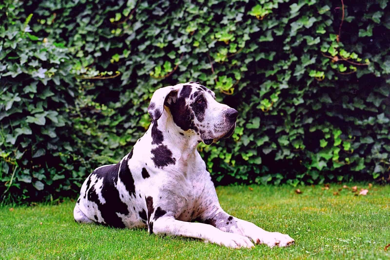 spotted great dane sitting in the garden lawn