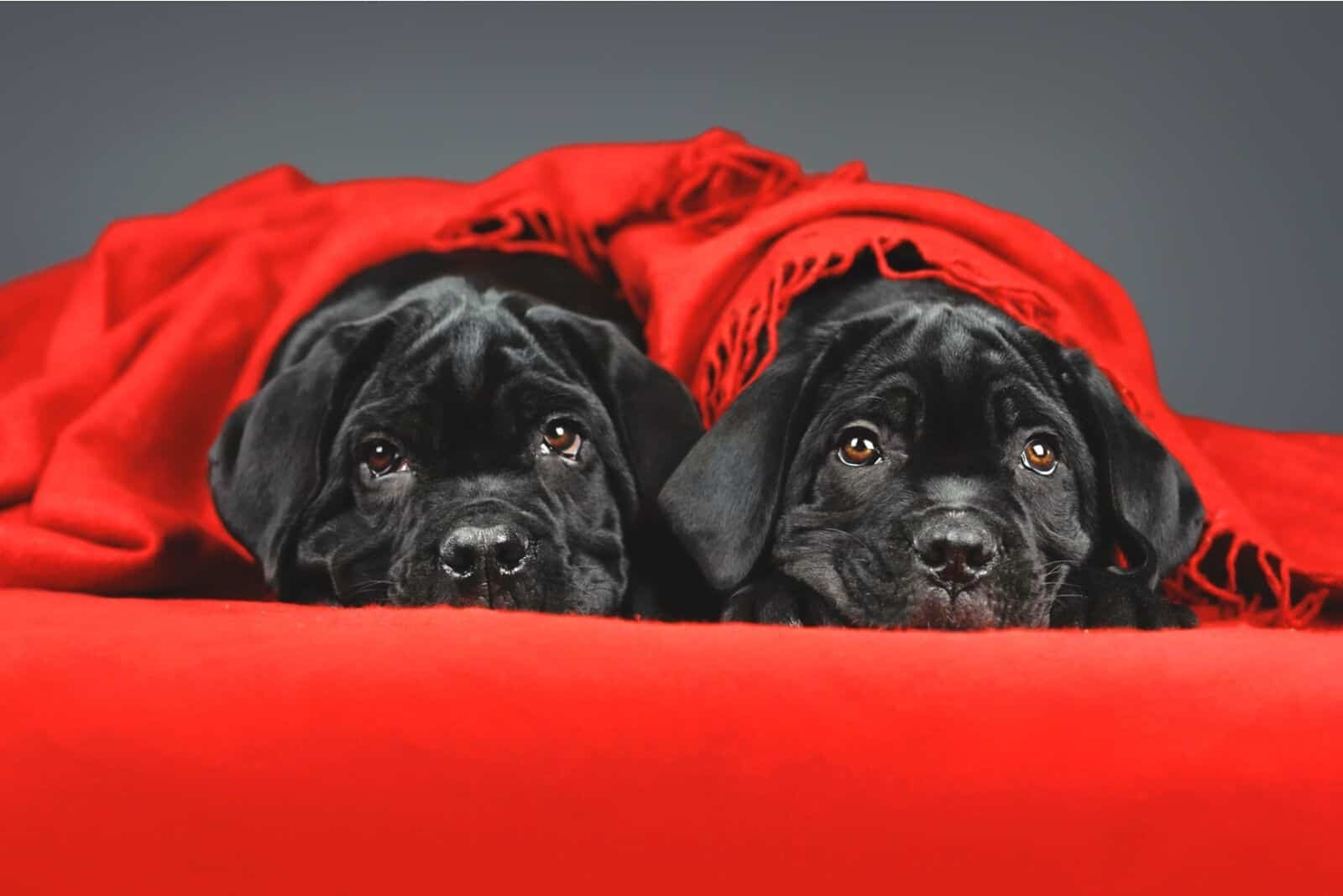 two black cane corso puppies under red blanket