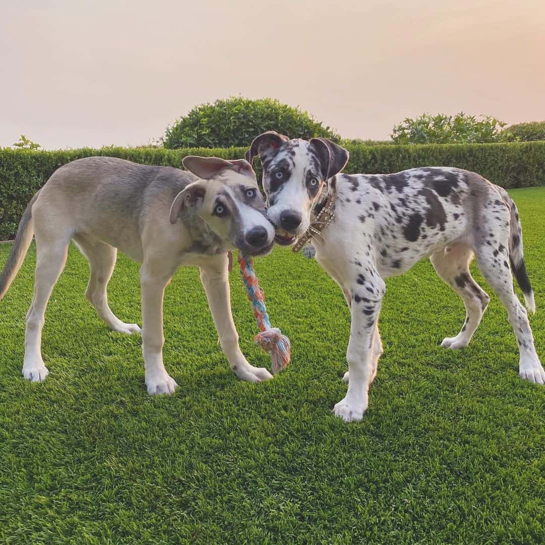 two great dane husky mix dogs