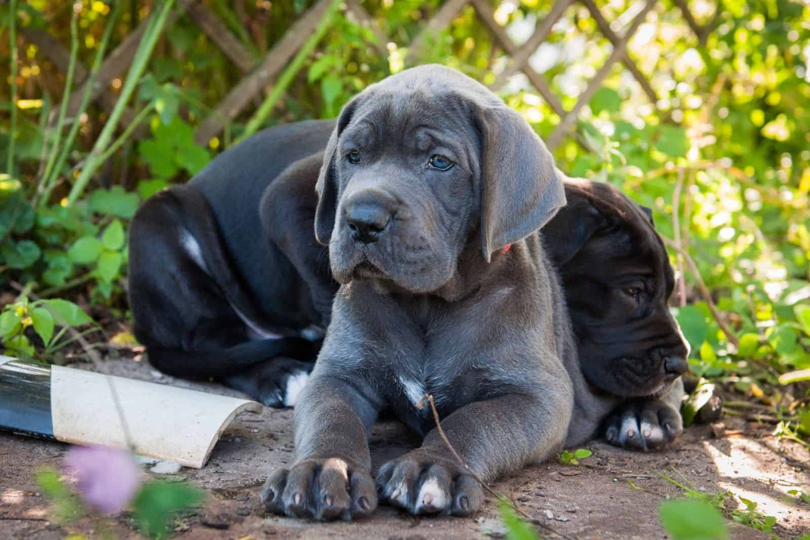 two great danes puppies lying down outdoors