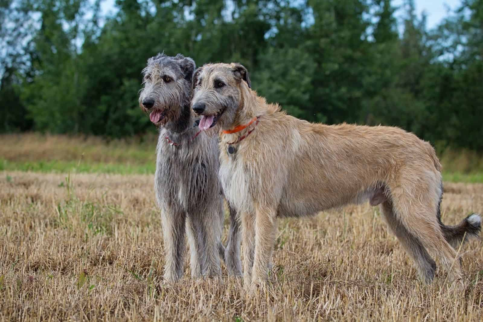 two irish wolfhound dogs standing in the dry meadows